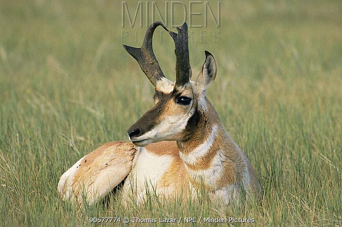 Male Pronghorn anteleope (Antilocapra americana) USA, endangered species  -  Thomas Lazar/ npl