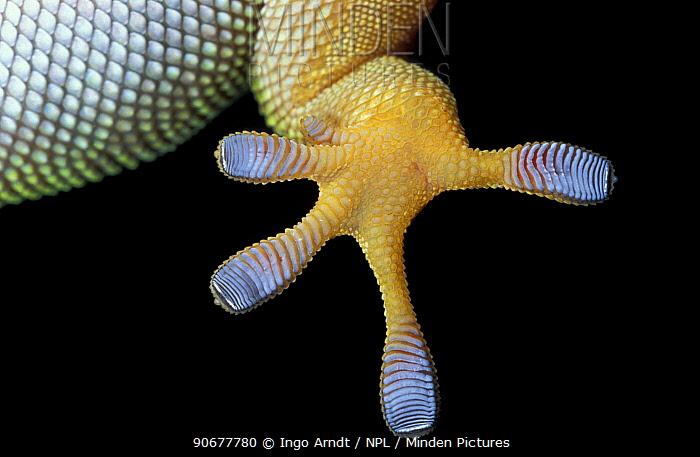 Close up foot of Madagascan day gecko (Phelsuma madagascariensis)  -  Ingo Arndt/ npl