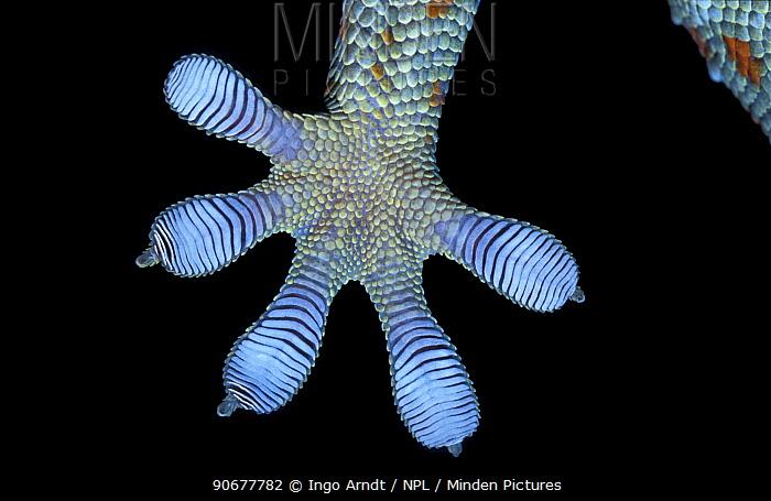 Close up foot of Tokay gecko (Gekko gecko)  -  Ingo Arndt/ npl