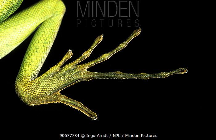 Close up foot of Double crested basilisk (Basiliscus plumifrons)  -  Ingo Arndt/ npl