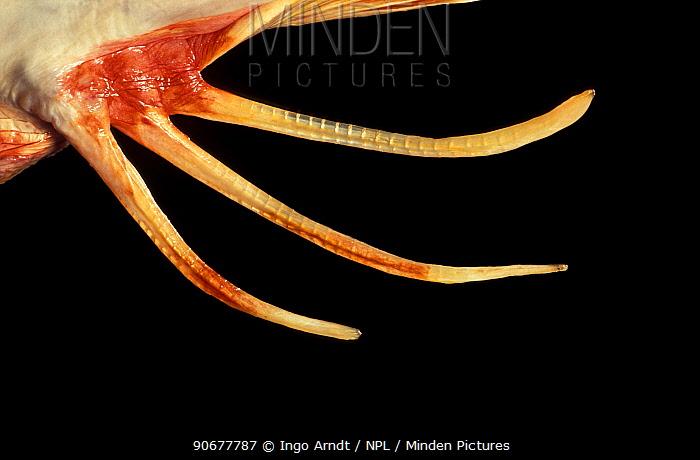 Close up of fin of Tub gurnard (Trigla, Chelidoichtys lucerna)  -  Ingo Arndt/ npl