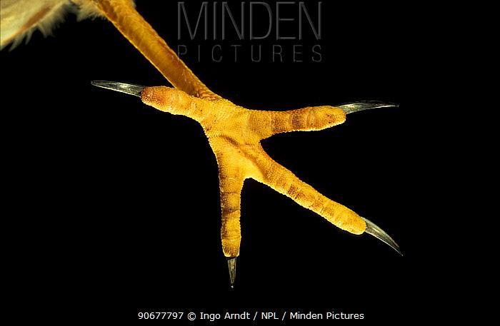 Close up of foot of Hen harrier (Circus cyaneus)  -  Ingo Arndt/ npl