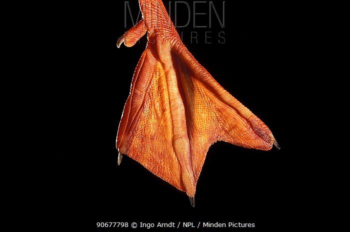Close up of webbed foot of Mallard (Anas platyrhynchos)  -  Ingo Arndt/ npl