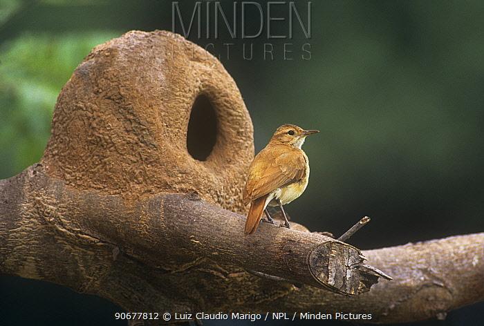 Rufous hornero, Ovenbird at mud nest (Furnarius rufus) Mato Grosso, Brazil  -  Luiz Claudio Marigo/ npl