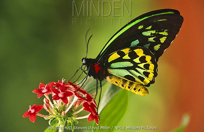 Australian birdwing butterfly (Ornithoptera priamus) male, captive, Australia  -  Steven David Miller/ npl