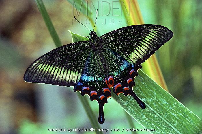Maack's swallowtail butterfly (Papilio maackii) Asia  -  Luiz Claudio Marigo/ npl