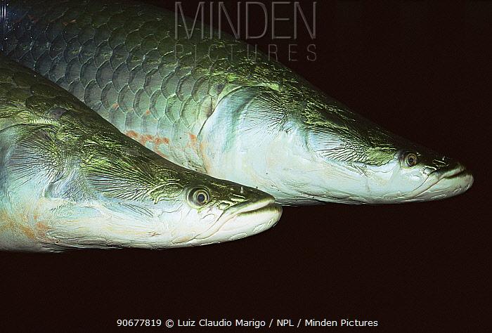 Giant arapaima, Pirarucu fish (Arapaima gigas) Amazonia, Brazil  -  Luiz Claudio Marigo/ npl