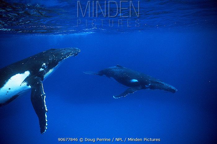 Humpback whale and yearling calf (in foreground) Tonga, Pacific (Megaptera novaeangliae)  -  Doug Perrine/ npl