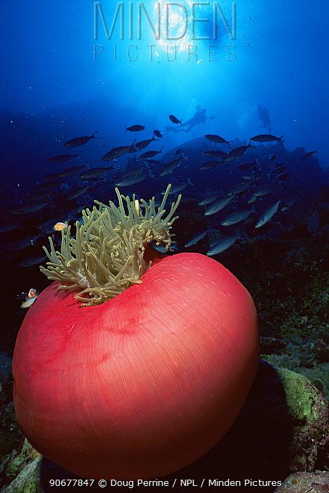 Magnificent anemone (Heteractis magnifica) Flinders Reef, Queensland, Australia  -  Doug Perrine/ npl