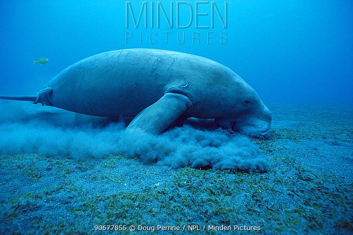 Dugong (Dugong dugong) feeding on sea grass, Indo-Pacific  -  Doug Perrine/ npl
