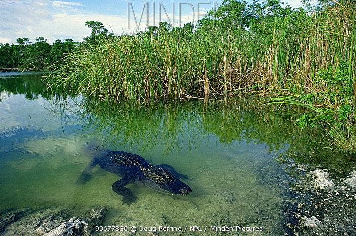 American alligator (Alligator mississippiensis) Florida, USA  -  Doug Perrine/ npl