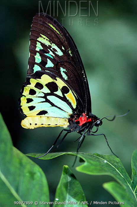 Australian birdwing butterfly (Ornithoptera priamus) resting Australia Captive Melbourne Zoo  -  Steven David Miller/ npl