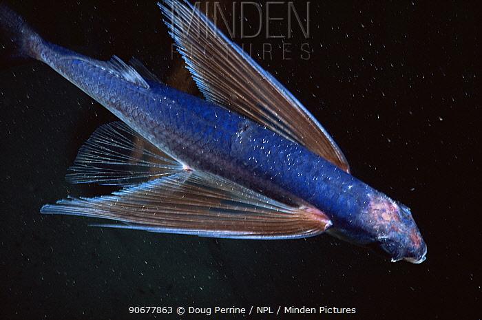 Flying fish (Hirundichthys affinis) Atlantic  -  Doug Perrine/ npl