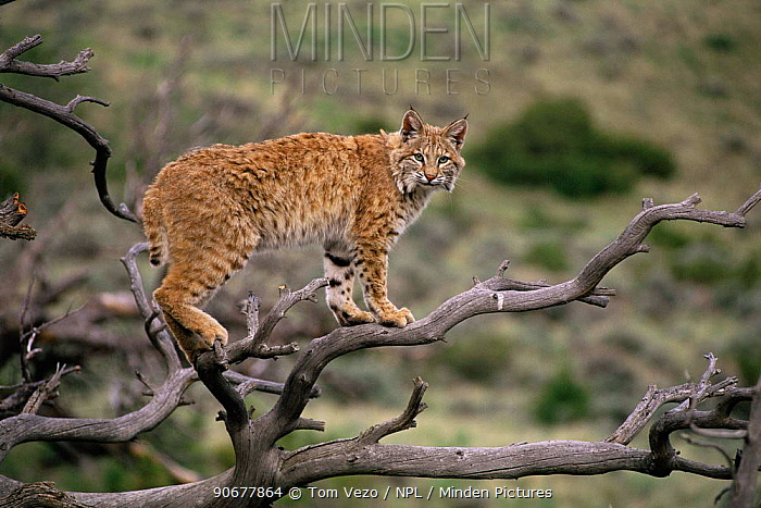 Lynx (Lynx lynx) standing on the branches of a dead tree, USA Captive  -  Tom Vezo/ npl