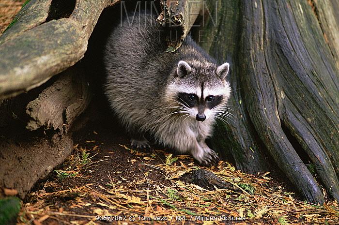 Raccoon (Procyon lotor) by tree trunk Canada  -  Tom Vezo/ npl