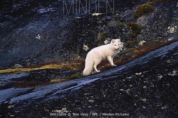 Arctic fox (Vulpes lagopus) in white phase winter coat, standing on dark rocks Canada  -  Tom Vezo/ npl