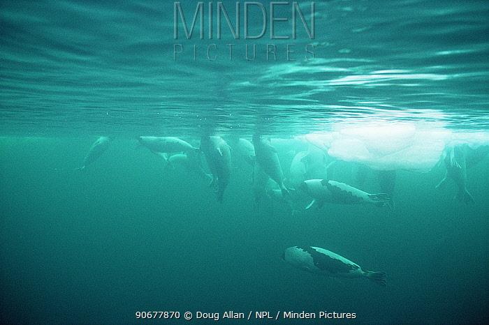 Harp seals (Phoca groenlandicus) males underwater, Gulf of Saint Lawrence, Canada  -  Doug Allan/ npl