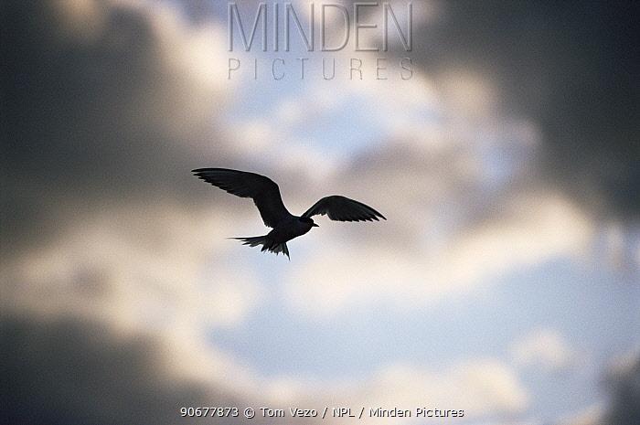 Common tern (Sterna hirundo) in flight, USA  -  Tom Vezo/ npl