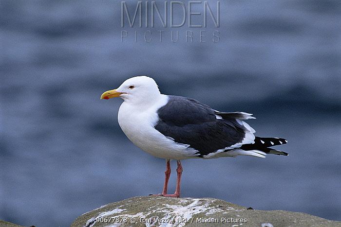 Western gull (Larus occidentalis) portrait on a rock, USA  -  Tom Vezo/ npl