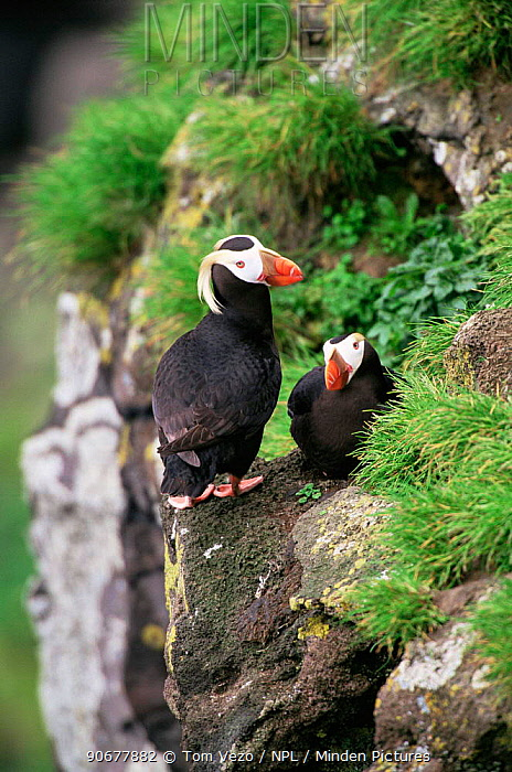 Tufted puffin (Lunda cirrhata) pair perched on cliff edge, Alaska Saint Paul Island  -  Tom Vezo/ npl