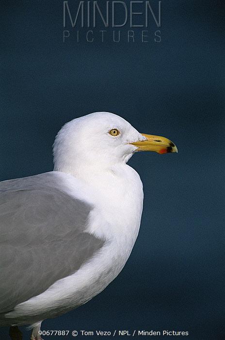 Herring gull (Larus argentatus) profile portrait, USA  -  Tom Vezo/ npl