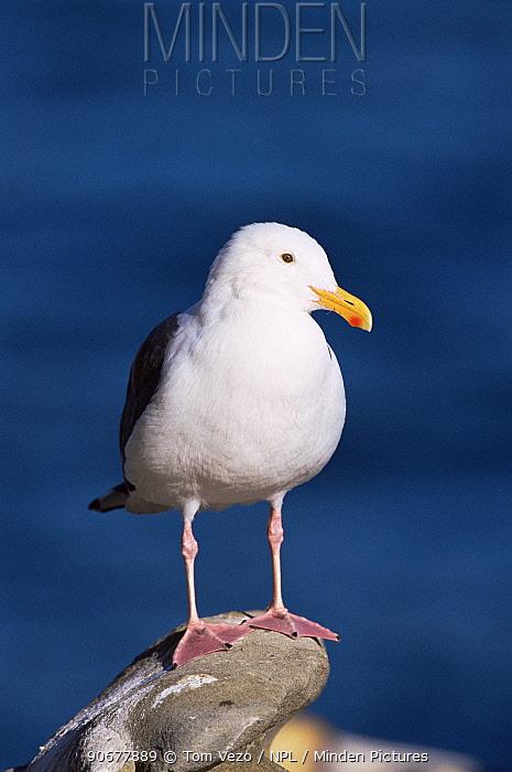 Western gull (Larus occidentalis) portrait, USA  -  Tom Vezo/ npl