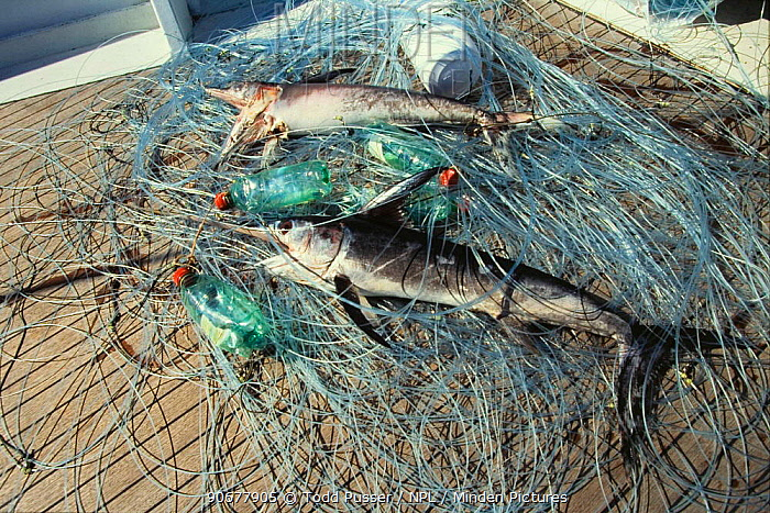 Immature Swordfish (Xaphias gladias) caught in abandoned drifting longline, Italy  -  Todd Pusser/ npl
