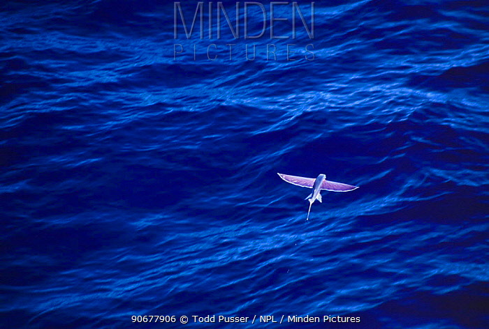 California flying fish (Cypselurus californicus) in flight above sea surface, Pacific  -  Todd Pusser/ npl