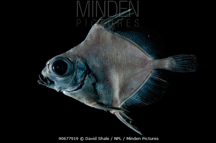 Deepsea fish, Oreo (Neocyttus sp), deep sea Atlantic ocean  -  David Shale/ npl