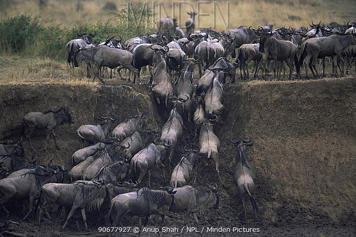 Wildebeest herd (Connochaetes taurinus) climbing banks of river, Masai mara reserve, Kenya  -  Anup Shah/ npl