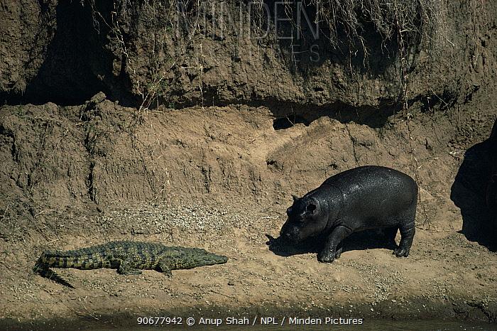 Curious Hippoptamus (Hipopotamus amphibius) and basking Nile Crocodile (Crocodylus Niloticus) Mara River, Masai Mara, Kenya  -  Anup Shah/ npl