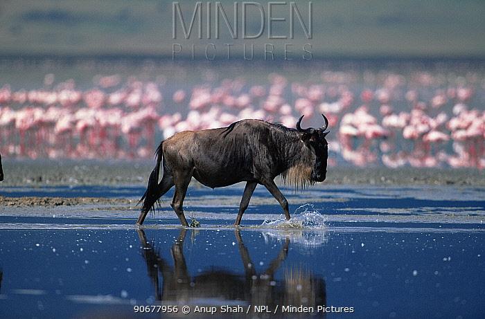 Wildebeest (Connochaetes taurinus) walking through Lake with Lesser Flamingos in background, Kenya  -  Anup Shah/ npl