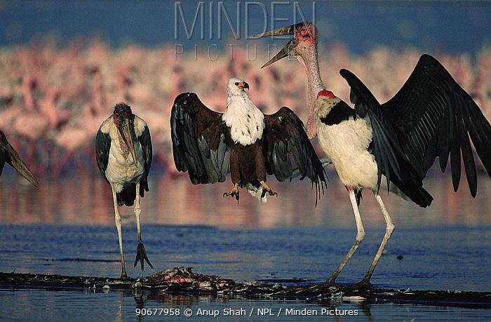 African fish eagle (Haliaeetus vocifer) fighting with Marabou storks (Leptoptilos crumeniferus) over Lesser flamingo carcass, Lake Nakuru, Kenya  -  Anup Shah/ npl