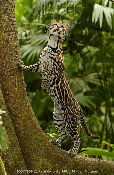 Ocelot (Felis, Leopardus pardalis) Amazon Rainforest, Ecuador captive  -  Pete Oxford/ npl