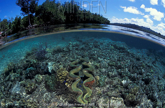 Mangrove forest and shallow coral reef with Giant clam, split level, Papua New Guinea  -  Jurgen Freund/ npl