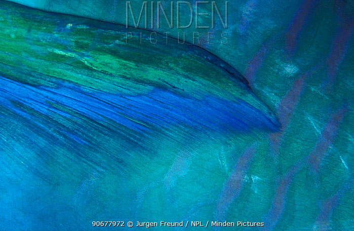 Close up of fin of Parrotfish (Scarus sp) Indo-pacific  -  Jurgen Freund/ npl