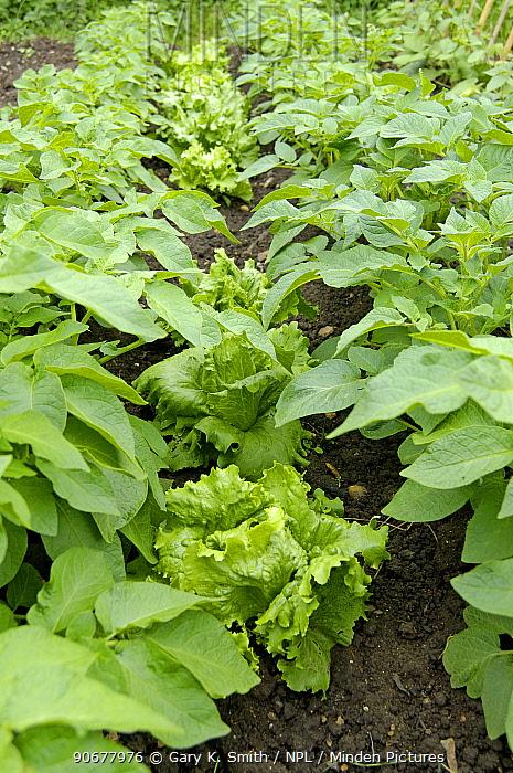 Catch cropping lettuces (Lactuca sativa) between potato crop in small organic garden, UK  -  Gary K. Smith/ npl
