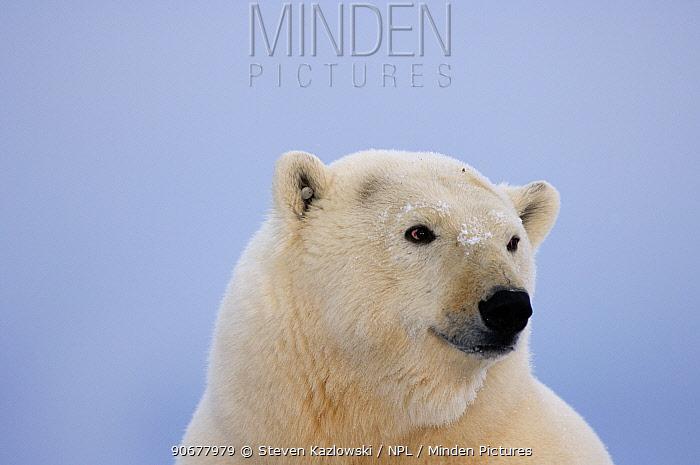 Polar bear portrait (Ursus maritimus) Coastal plain of the Arctic National Wildlife Refuge, Alaska  -  Steven Kazlowski/ npl