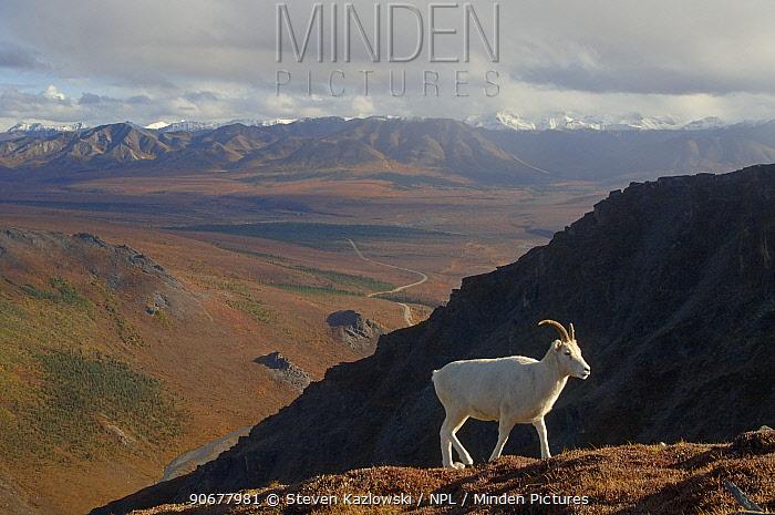 Dall sheep (Ovis Dalli)female profile walking on hillside, Denali National Park, Alaska, USA  -  Steven Kazlowski/ npl