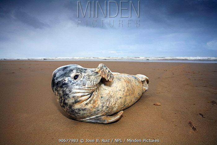 Grey seal (Halichoerus grypus) rubbing nose with flipper, on beach at Donna Nook, Lincolnshire, UK  -  Jose B. Ruiz/ npl