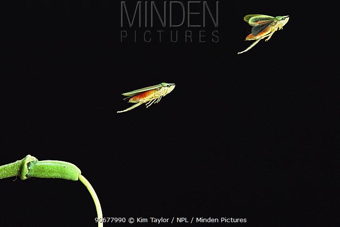 Red banded leaf hopper (Graphocephala coccinea) jumping, double exposure Captive, UK  -  Kim Taylor/ npl