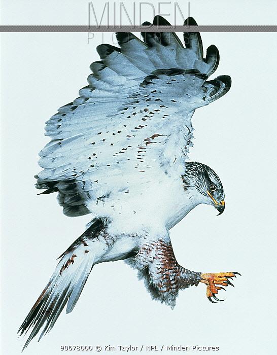 Ferruginous hawk (Buteo regalis) landing Captive  -  Kim Taylor/ npl