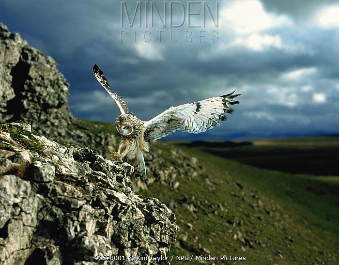 Short-eared Owl (Asio flammeus) landing on a rock Captive, UK  -  Kim Taylor/ npl