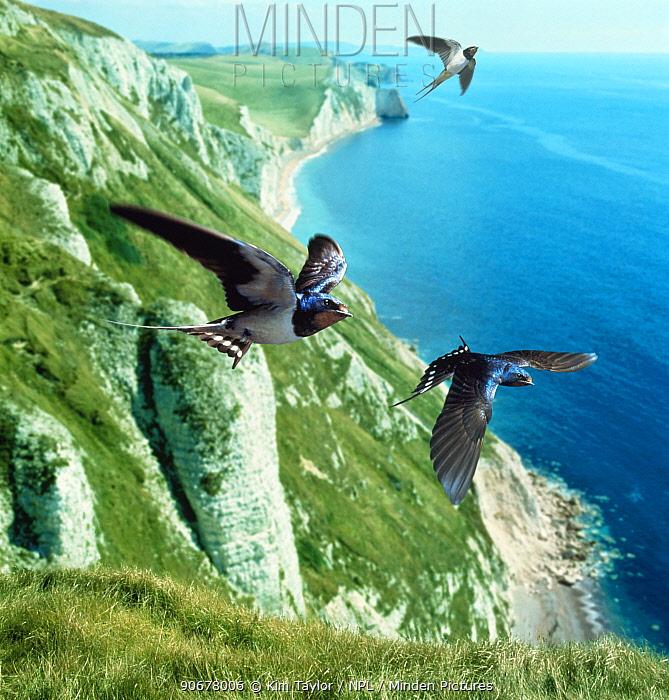 Barn swallow (Hirundo rustica) group over the cliffs of southern England (digitally enhanced)  -  Kim Taylor/ npl