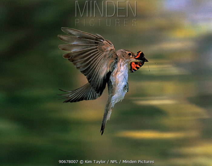 Spotted flycatcher (Muscicapa striata) carrying tortoiseshell butterfly prey in its beak UK  -  Kim Taylor/ npl