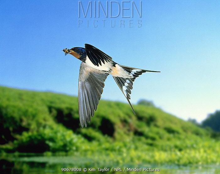 Barn swallow (Hirundo rustica) carrying drone honey bee prey (digitally enhanced) UK  -  Kim Taylor/ npl