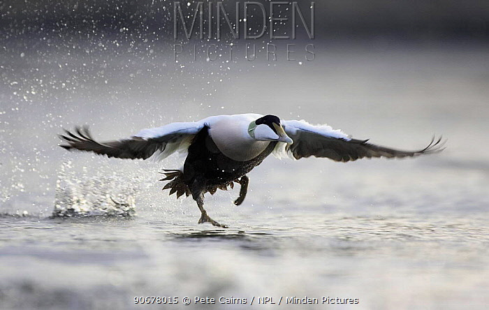 Common Eider duck (Somateria mollissima) male taking off from water, Nord-Trondelag, Norway  -  Pete Cairns/ npl