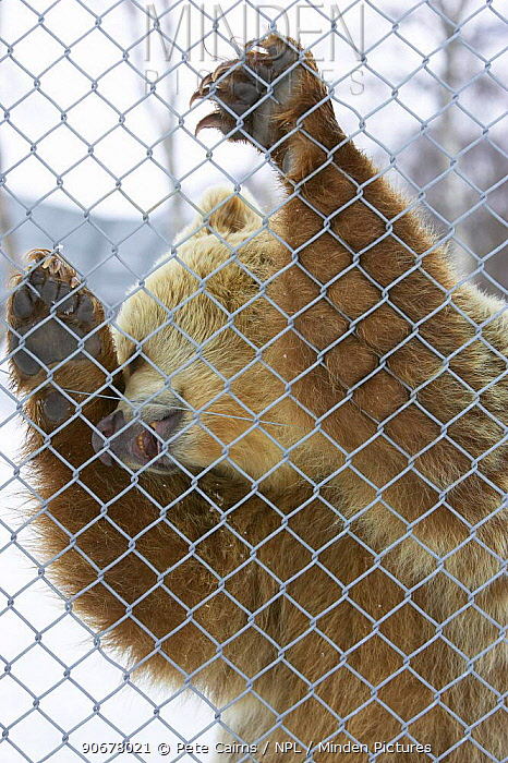 European brown bear (Ursos arctos) in captivity standing up against cage wire Nord-Trondelag, Norway  -  Pete Cairns/ npl