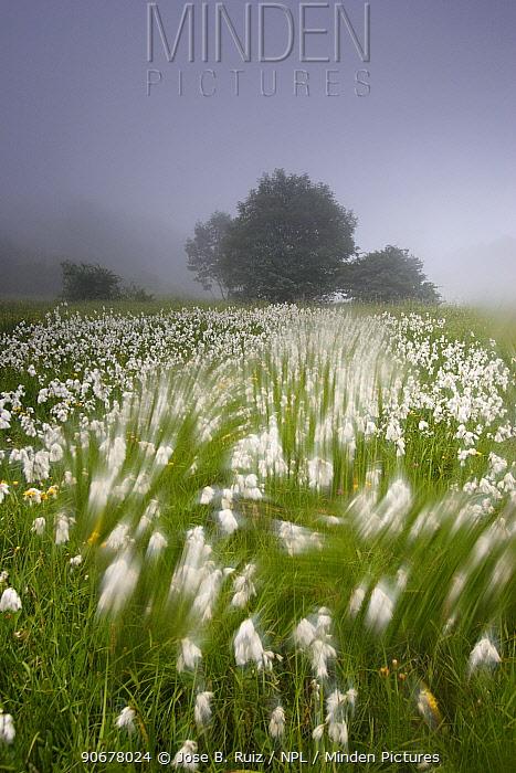 Arty-shot of Cotton grass blowing in wind, in a meadow, Picos de Europa, Spain  -  Jose B. Ruiz/ npl