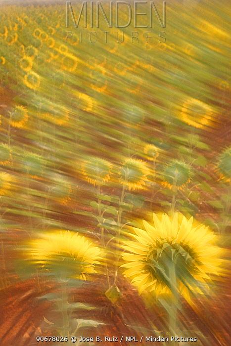 Abstract arty-shot of Sunflowers (Helianthus) in meadow, Spain  -  Jose B. Ruiz/ npl